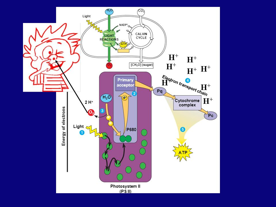 Light P680 e–e– Photosystem II (PS II) Primary acceptor [CH 2 O] (sugar) ATP CALVIN CYCLE LIGHT REACTIONS NADP + Light H2OH2O CO 2 Energy of electrons O2O2 2 H + H2OH2O O2O2 Pq Cytochrome complex Electron transport chain Pc ATP H+H+ H+H+ H+H+ H+H+ H+H+ H+H+ H+H+ H+H+
