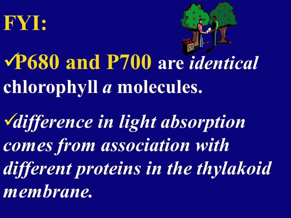 FYI: P680 and P700 are identical chlorophyll a molecules. difference in light absorption comes from association with different proteins in the thylako