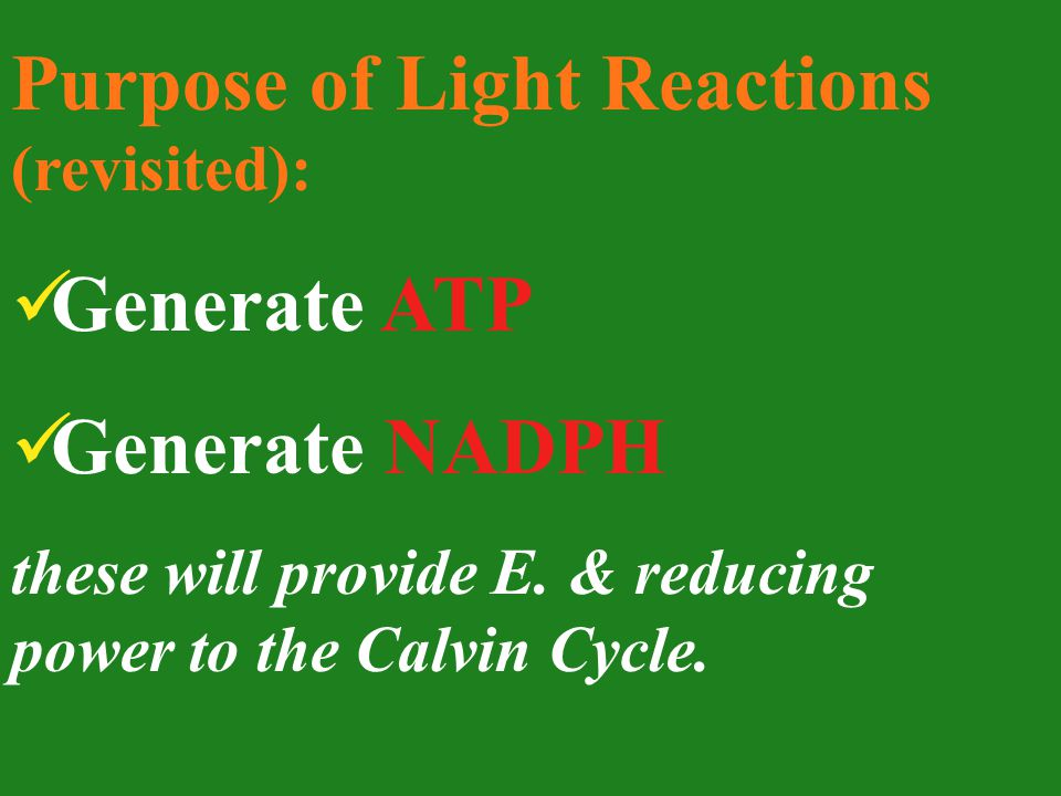 Purpose of Light Reactions (revisited): Generate ATP Generate NADPH these will provide E.