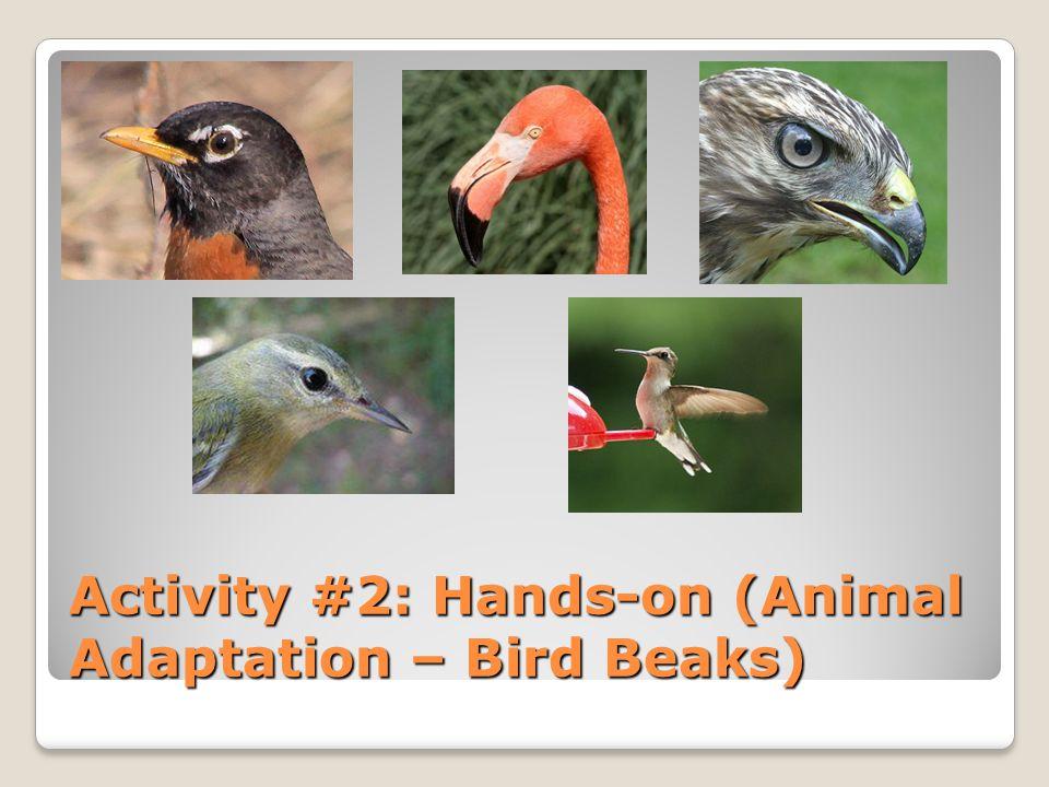 Activity #2: Hands-on (Animal Adaptation – Bird Beaks)