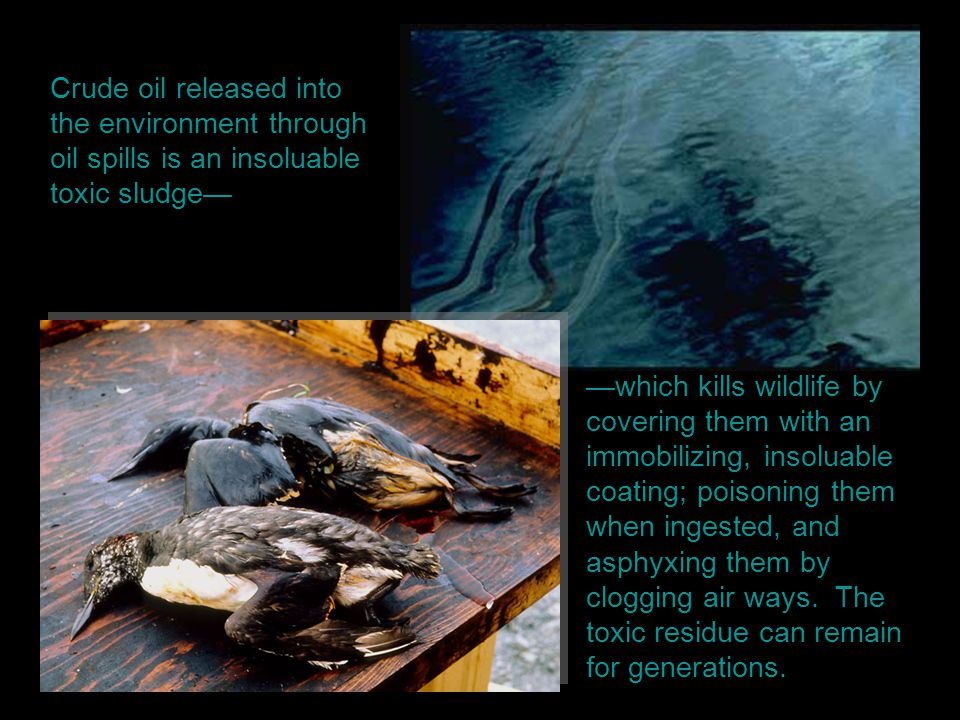 Crude oil released into the environment through oil spills is an insoluable toxic sludge— —which kills wildlife by covering them with an immobilizing,