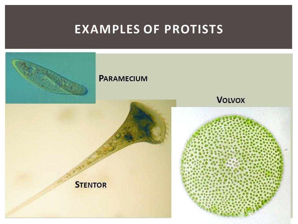 EXAMPLES OF PROTISTS P ARAMECIUM V OLVOX S TENTOR