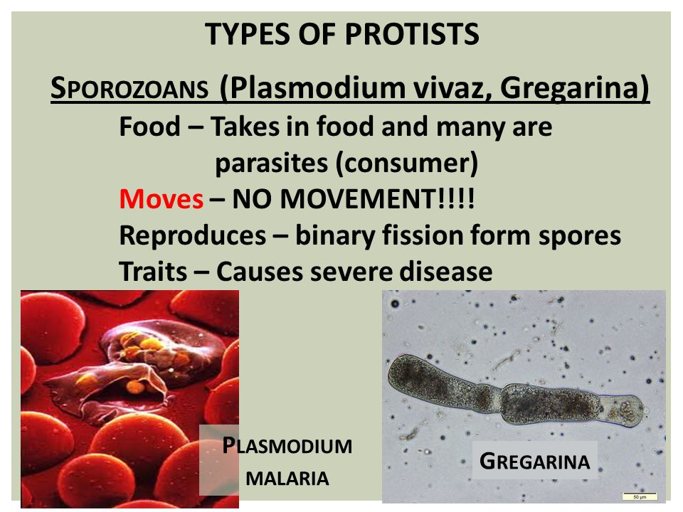 TYPES OF PROTISTS S POROZOANS (Plasmodium vivaz, Gregarina) Food – Takes in food and many are parasites (consumer) Moves – NO MOVEMENT!!!! Reproduces