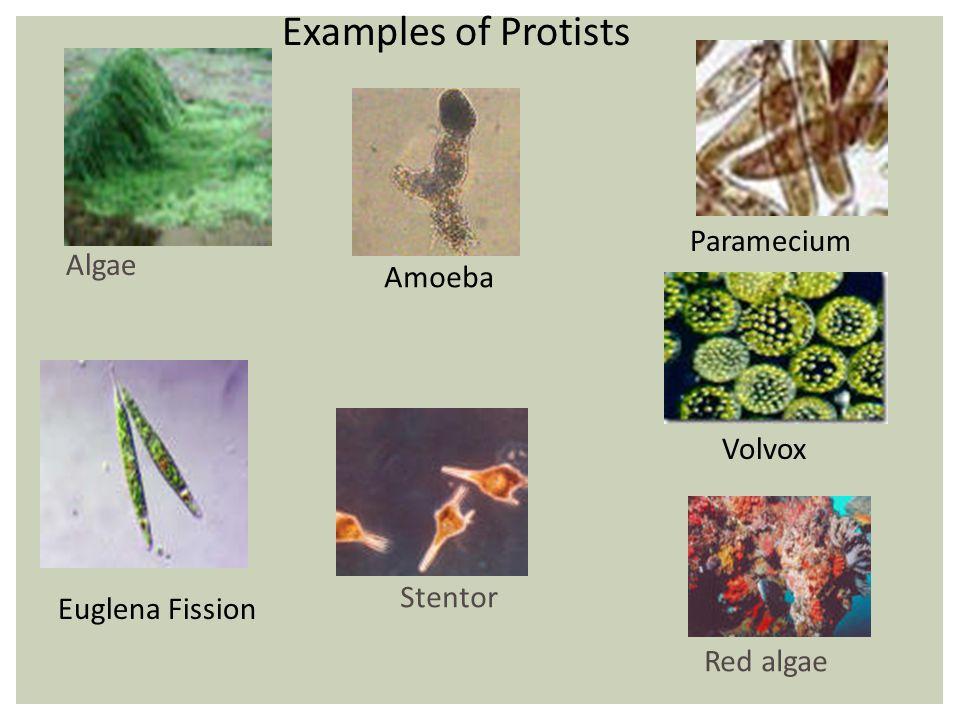 Examples of Protists Algae Amoeba Paramecium Volvox Euglena Fission Red algae Stentor