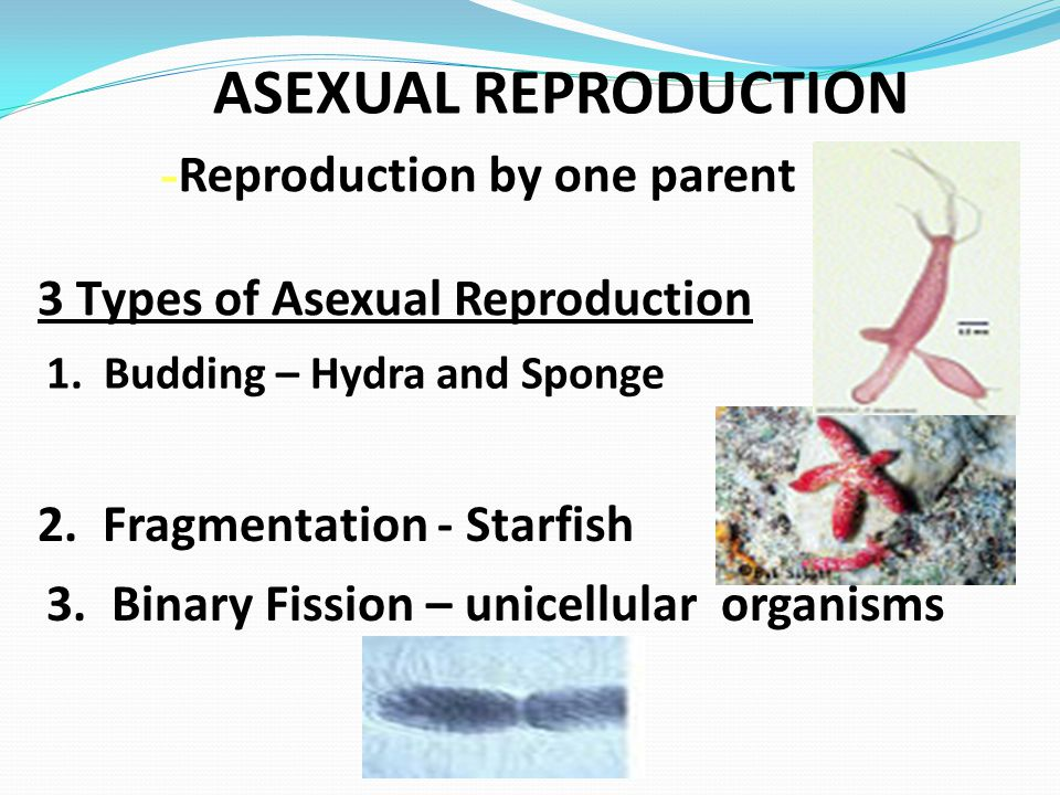 ASEXUAL REPRODUCTION 1. Budding – Hydra and Sponge 2. Fragmentation - Starfish 3. Binary Fission – unicellular organisms 3 Types of Asexual Reproducti