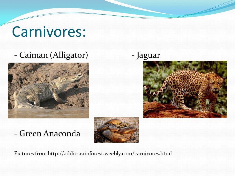Carnivores: - Caiman (Alligator) - Jaguar - Green Anaconda Pictures from http://addiesrainforest.weebly.com/carnivores.html