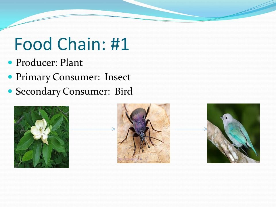 Food Chain: #1 Producer: Plant Primary Consumer: Insect Secondary Consumer: Bird