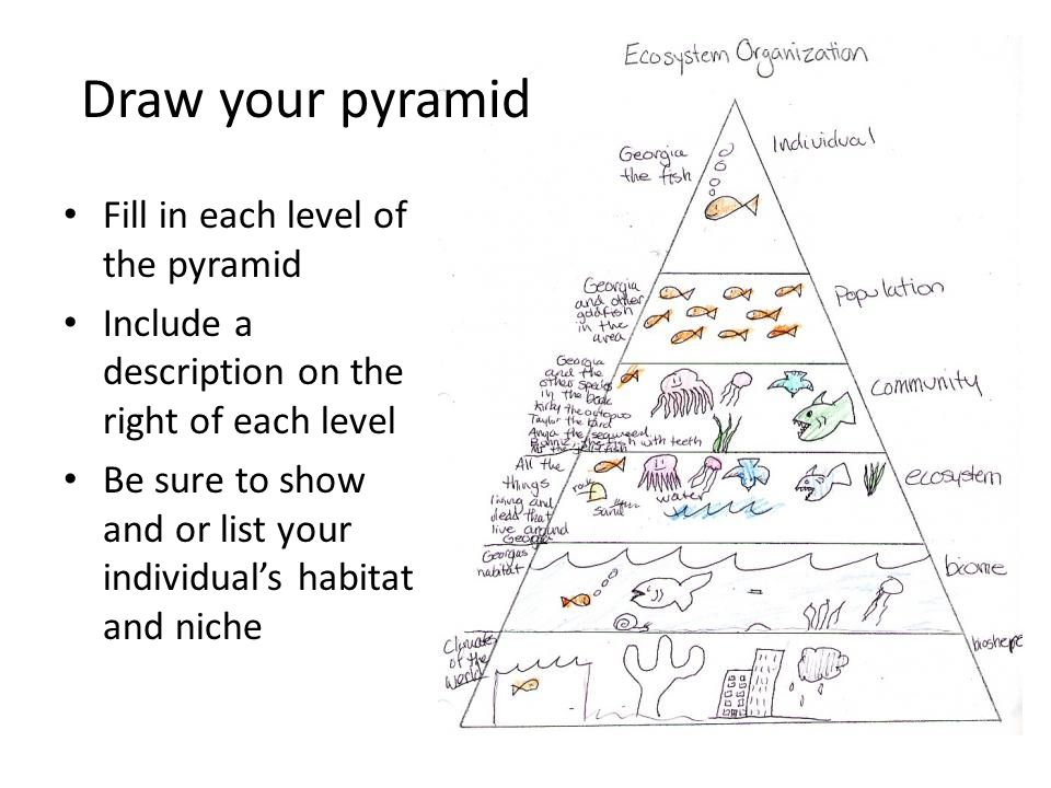 Fill in each level of the pyramid Include a description on the right of each level Be sure to show and or list your individual's habitat and niche Dra