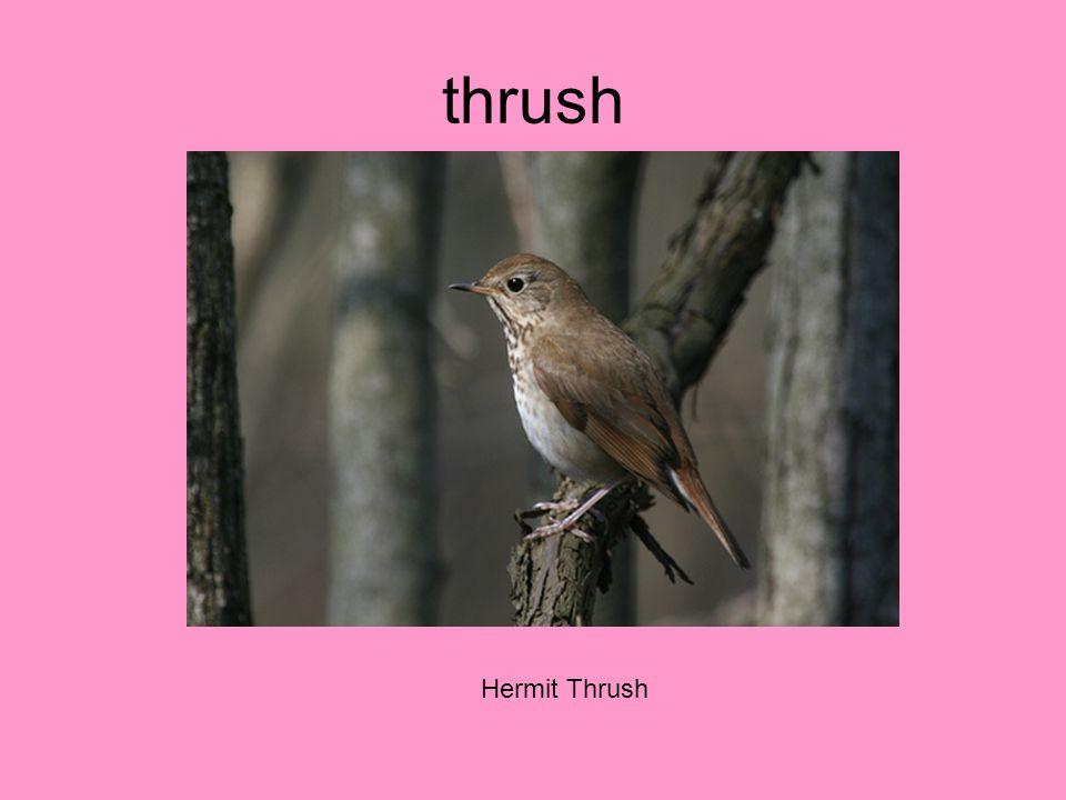 thrush Hermit Thrush