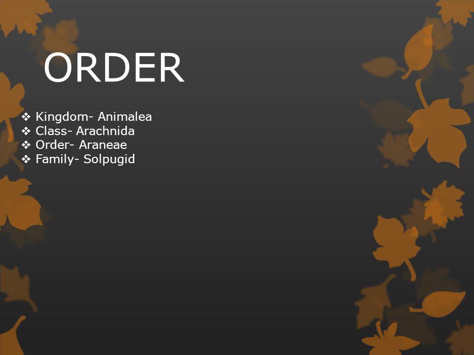 ORDER  Kingdom- Animalea  Class- Arachnida  Order- Araneae  Family- Solpugid