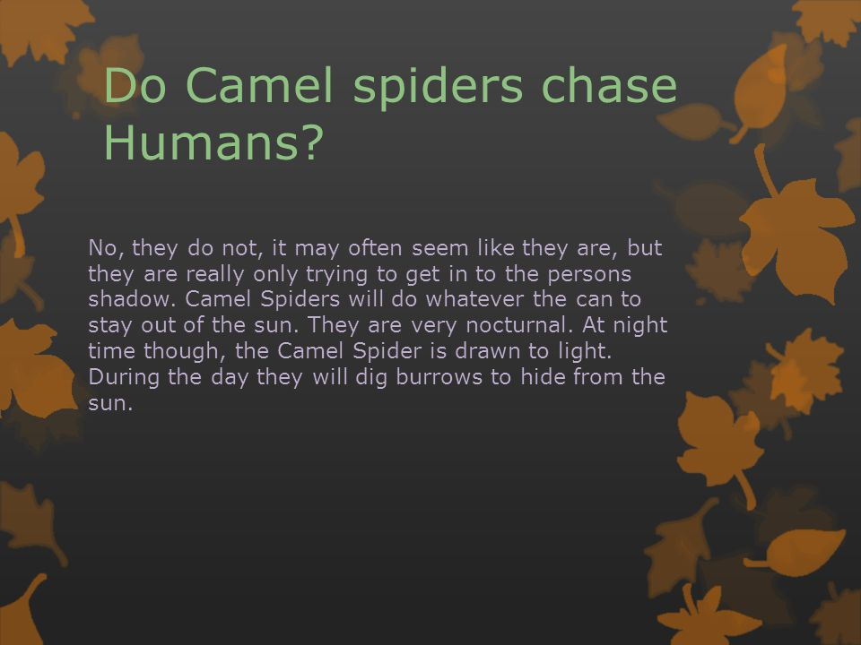Do Camel spiders chase Humans? No, they do not, it may often seem like they are, but they are really only trying to get in to the persons shadow. Came