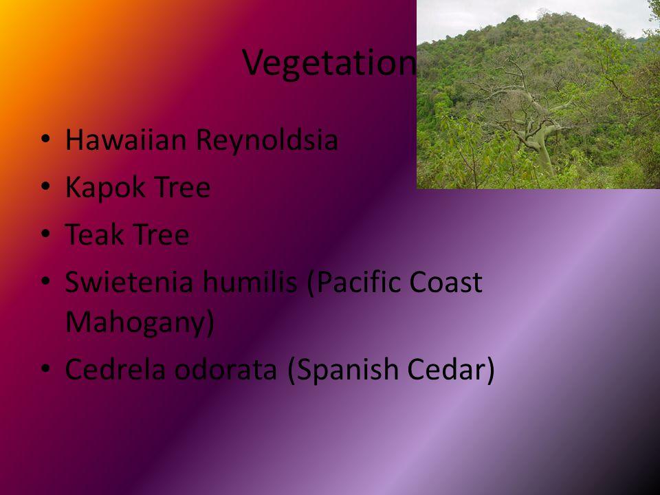 Vegetation Hawaiian Reynoldsia Kapok Tree Teak Tree Swietenia humilis (Pacific Coast Mahogany) Cedrela odorata (Spanish Cedar)