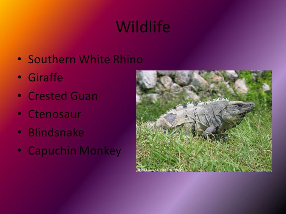 Wildlife Southern White Rhino Giraffe Crested Guan Ctenosaur Blindsnake Capuchin Monkey