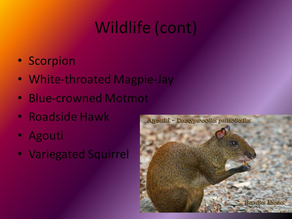 Wildlife (cont) Scorpion White-throated Magpie-Jay Blue-crowned Motmot Roadside Hawk Agouti Variegated Squirrel