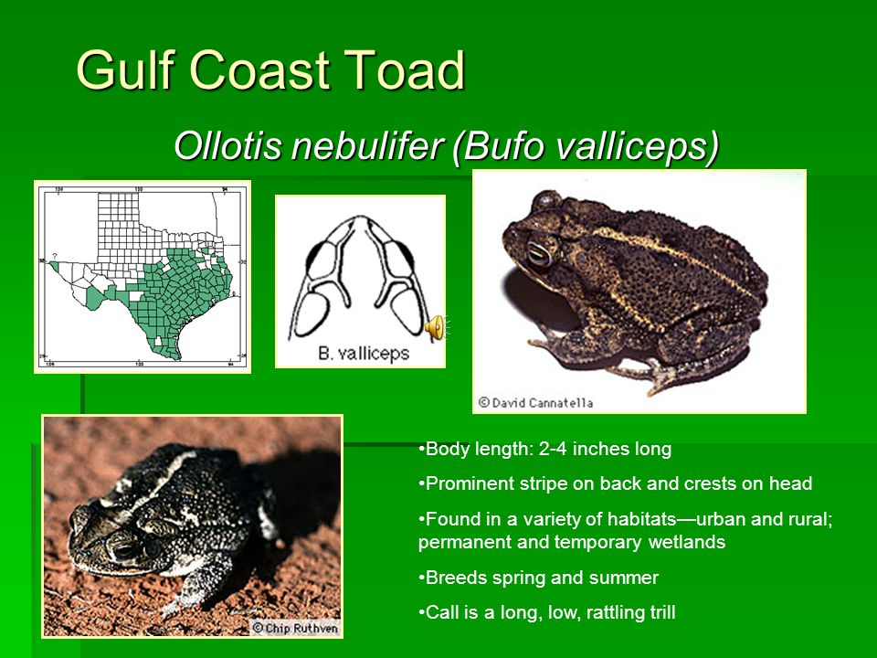 Gulf Coast Toad Ollotis nebulifer (Bufo valliceps) Body length: 2-4 inches long Prominent stripe on back and crests on head Found in a variety of habi