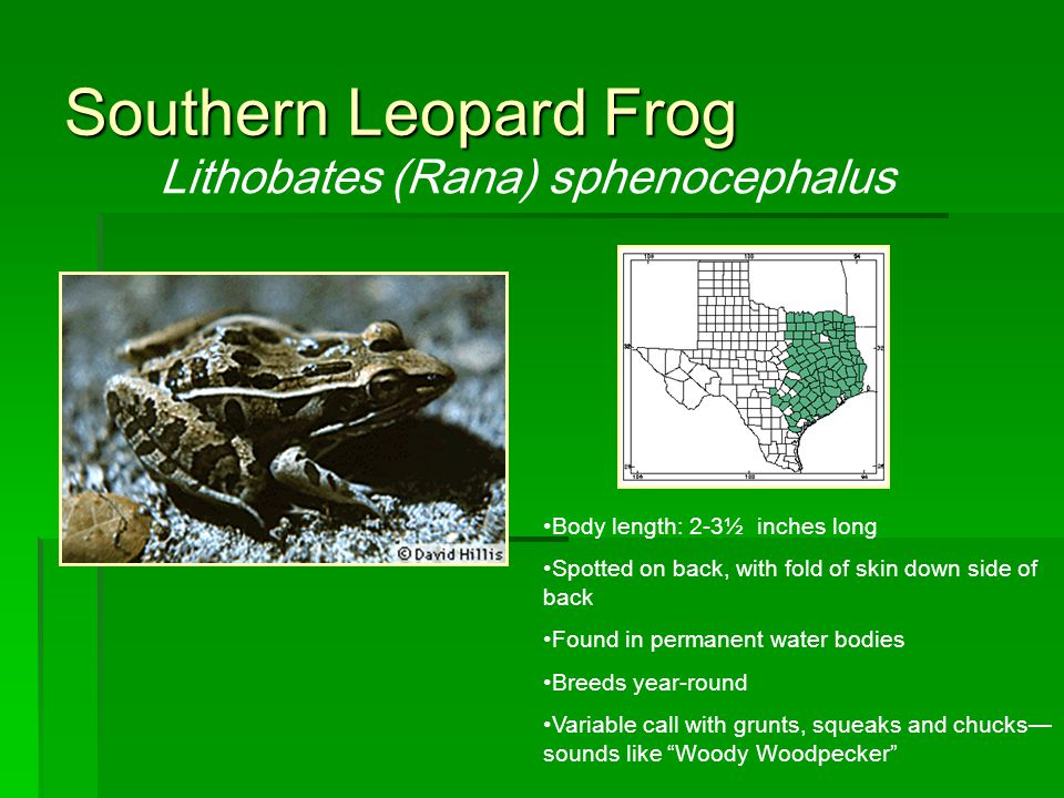 Southern Leopard Frog Lithobates (Rana) sphenocephalus Body length: 2-3½ inches long Spotted on back, with fold of skin down side of back Found in per
