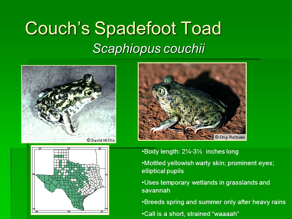 Couch's Spadefoot Toad Scaphiopus couchii Body length: 2¼-3½ inches long Mottled yellowish warty skin; prominent eyes; elliptical pupils Uses temporar