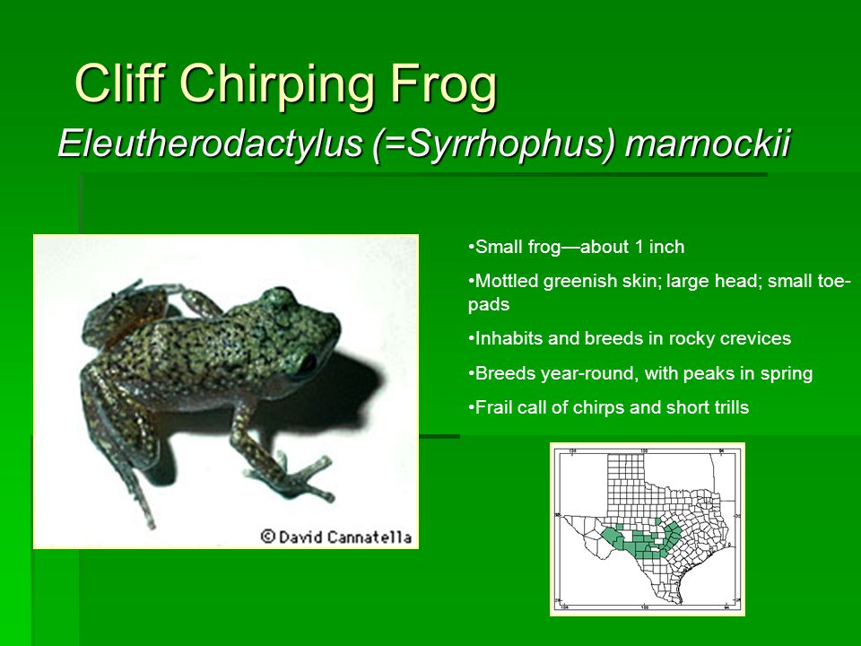 Cliff Chirping Frog Eleutherodactylus (=Syrrhophus) marnockii Small frog—about 1 inch Mottled greenish skin; large head; small toe- pads Inhabits and