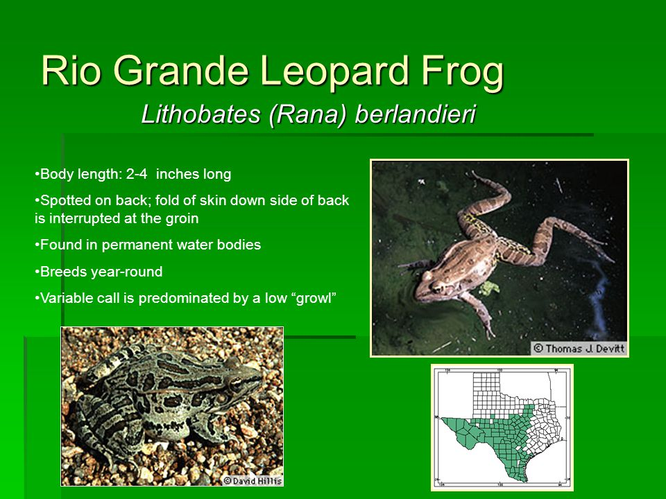 Lithobates (Rana) berlandieri Rio Grande Leopard Frog Body length: 2-4 inches long Spotted on back; fold of skin down side of back is interrupted at t