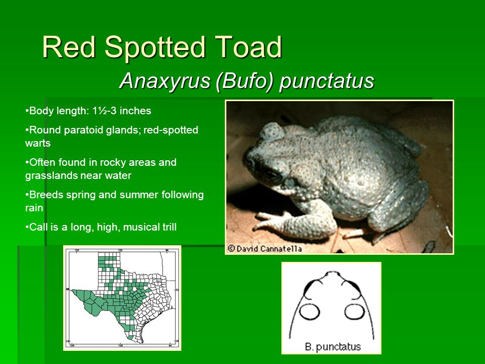 Red Spotted Toad Anaxyrus (Bufo) punctatus Body length: 1½-3 inches Round paratoid glands; red-spotted warts Often found in rocky areas and grasslands
