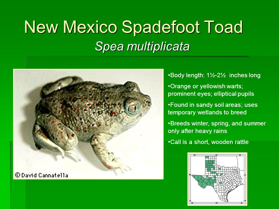 New Mexico Spadefoot Toad Spea multiplicata Body length: 1½-2½ inches long Orange or yellowish warts; prominent eyes; elliptical pupils Found in sandy