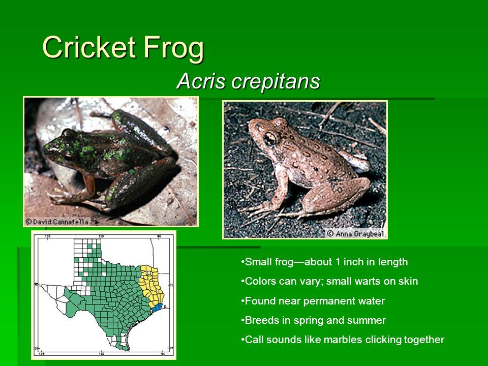 Cricket Frog Acris crepitans Small frog—about 1 inch in length Colors can vary; small warts on skin Found near permanent water Breeds in spring and su