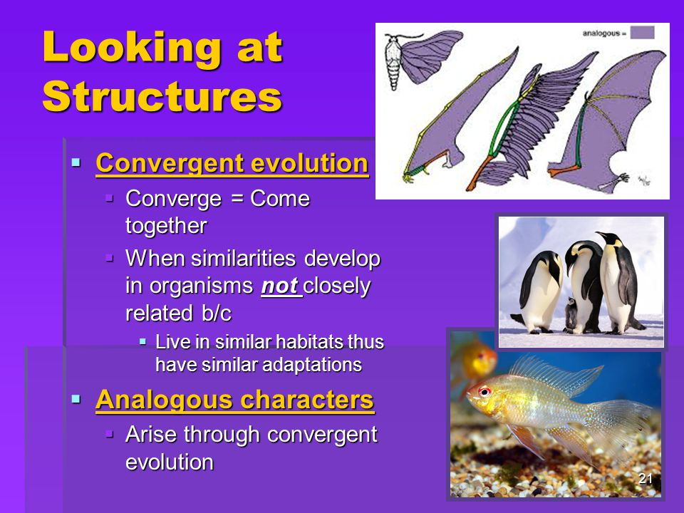 Looking at Structures  Convergent evolution  Converge = Come together  When similarities develop in organisms not closely related b/c  Live in similar habitats thus have similar adaptations  Analogous characters  Arise through convergent evolution 21