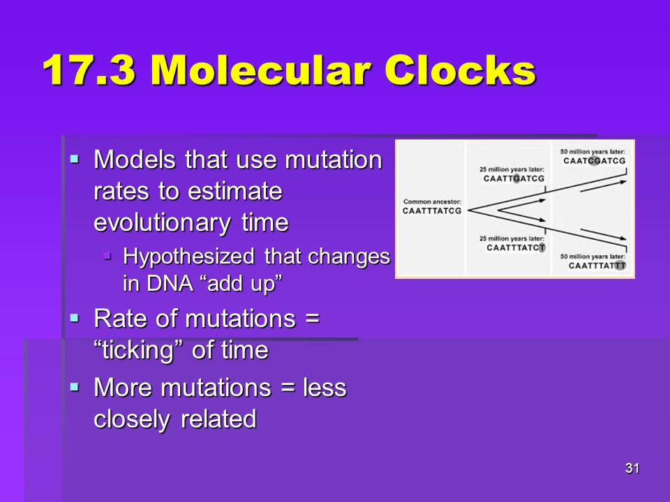 17.3 Molecular Clocks  Models that use mutation rates to estimate evolutionary time  Hypothesized that changes in DNA add up  Rate of mutations = ticking of time  More mutations = less closely related 31
