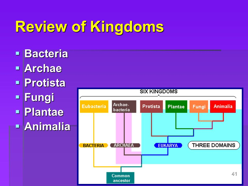 Review of Kingdoms  Bacteria  Archae  Protista  Fungi  Plantae  Animalia 41