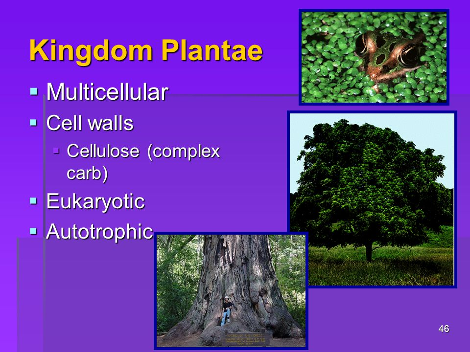 Kingdom Plantae  Multicellular  Cell walls  Cellulose (complex carb)  Eukaryotic  Autotrophic 46