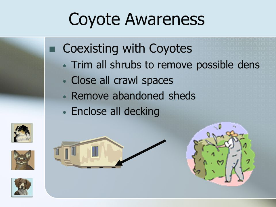 Coexisting with Coyotes Trim all shrubs to remove possible dens Close all crawl spaces Remove abandoned sheds Enclose all decking Coyote Awareness
