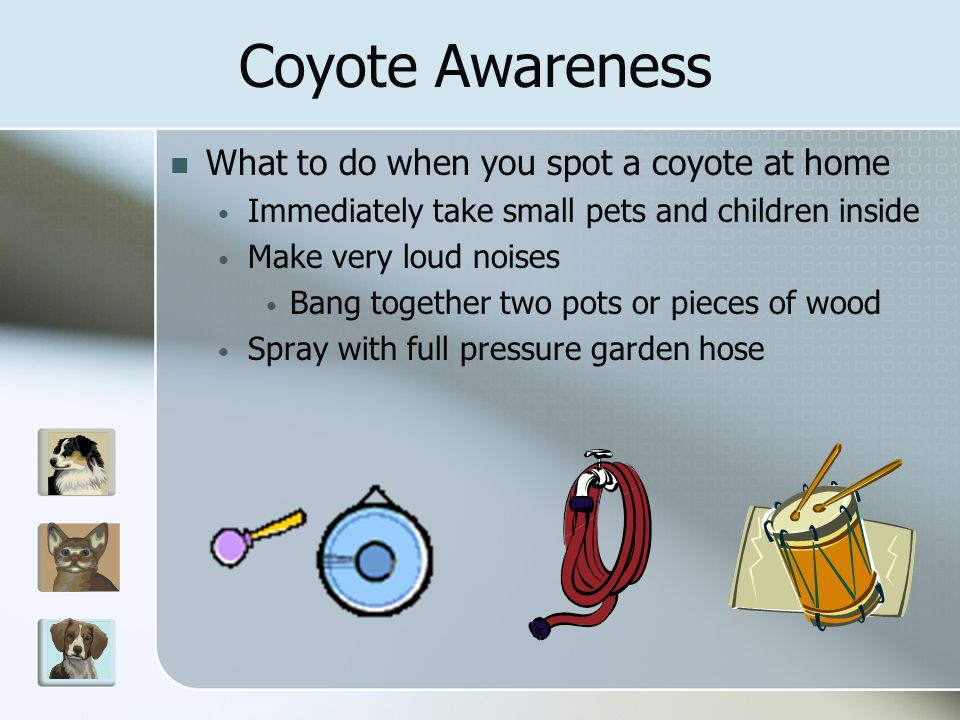 What to do when you spot a coyote at home Immediately take small pets and children inside Make very loud noises Bang together two pots or pieces of wood Spray with full pressure garden hose Coyote Awareness