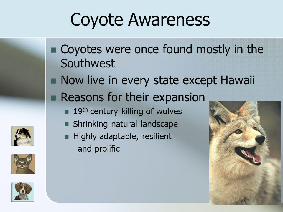 Coyotes were once found mostly in the Southwest Now live in every state except Hawaii Reasons for their expansion 19 th century killing of wolves Shrinking natural landscape Highly adaptable, resilient and prolific Coyote Awareness