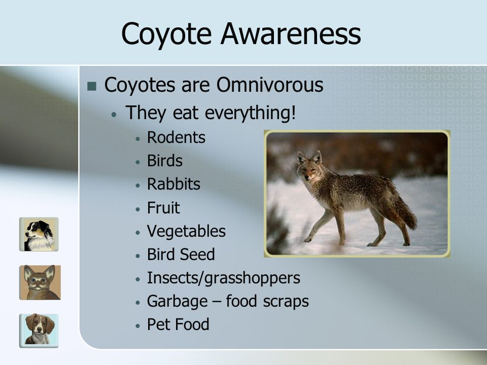 Interaction with Humans Aggression/attacks towards humans is extremely rare University of California study 1988-1997 in Southern California 53 attacks on humans (21 with injuries) Human behavior contributes to attacks Interactions are directly related to food Coyotes are wary of humans and avoid contact whenever possible Coyote Awareness