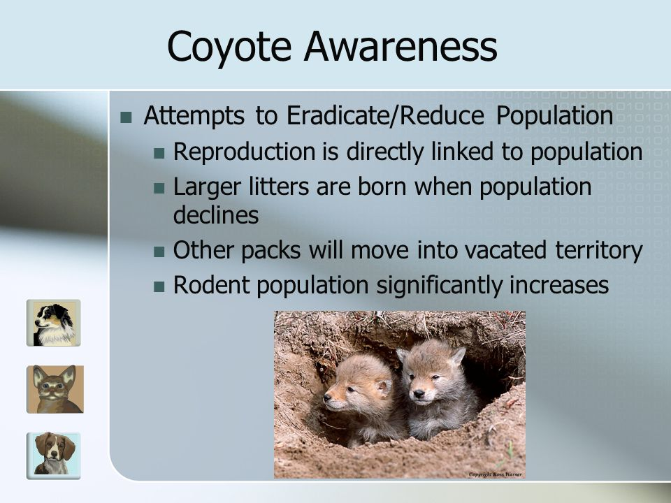 Attempts to Eradicate/Reduce Population Reproduction is directly linked to population Larger litters are born when population declines Other packs will move into vacated territory Rodent population significantly increases Coyote Awareness