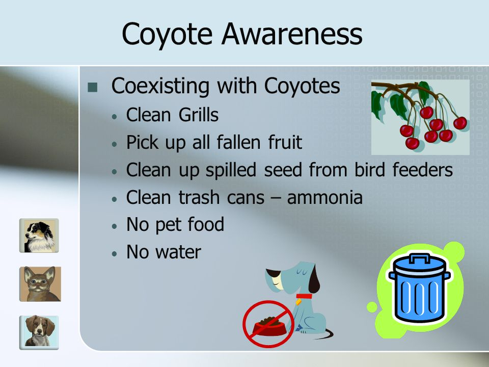 Coexisting with Coyotes Clean Grills Pick up all fallen fruit Clean up spilled seed from bird feeders Clean trash cans – ammonia No pet food No water Coyote Awareness