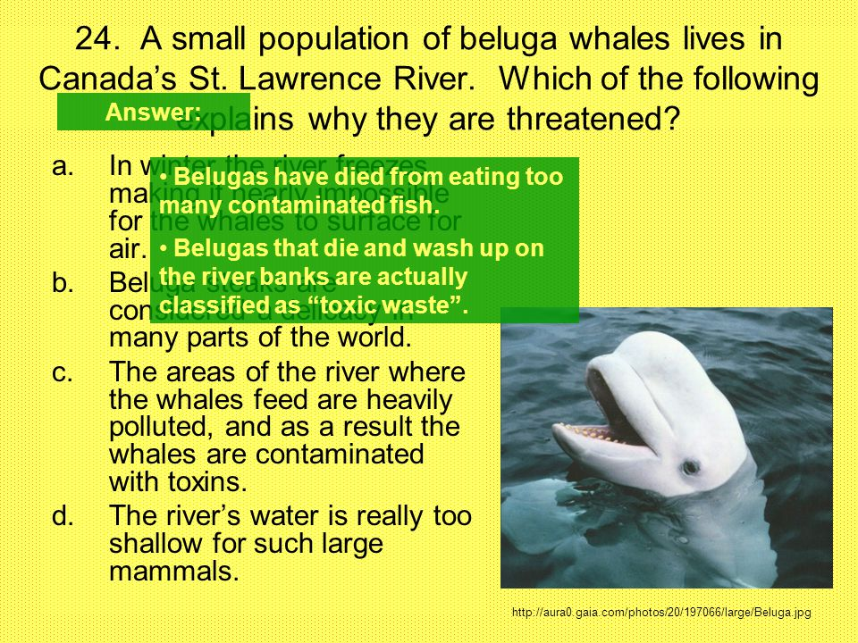 24. A small population of beluga whales lives in Canada's St. Lawrence River. Which of the following explains why they are threatened? a.In winter the