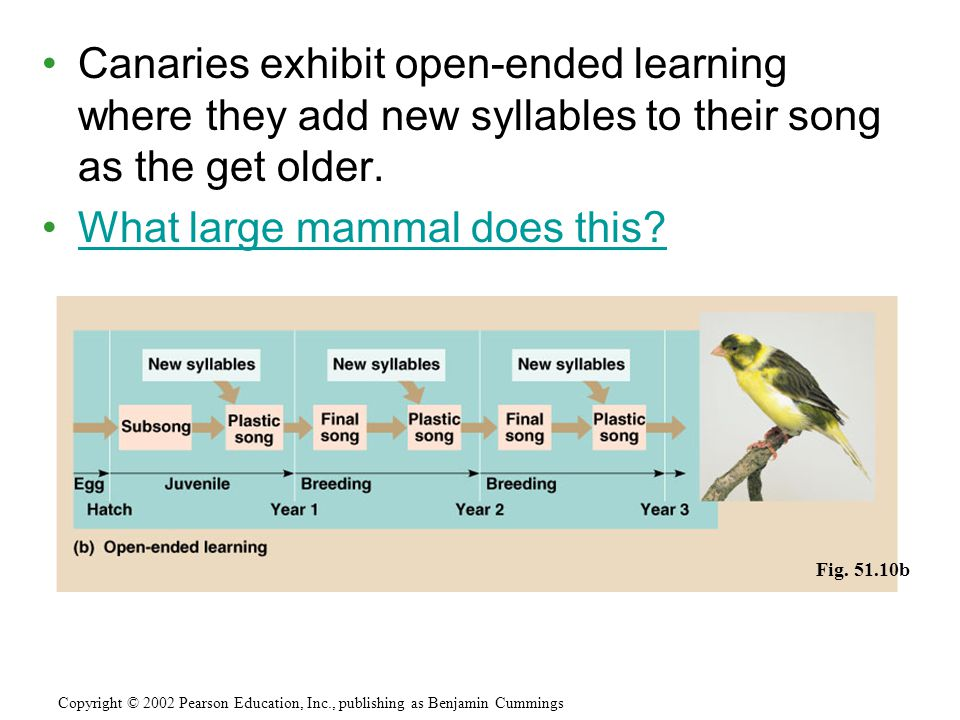 Canaries exhibit open-ended learning where they add new syllables to their song as the get older. What large mammal does this? Fig. 51.10b Copyright ©