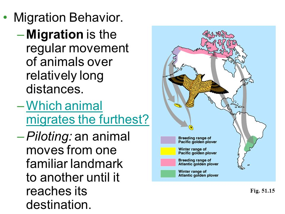 Migration Behavior. –Migration is the regular movement of animals over relatively long distances. –Which animal migrates the furthest?Which animal mig