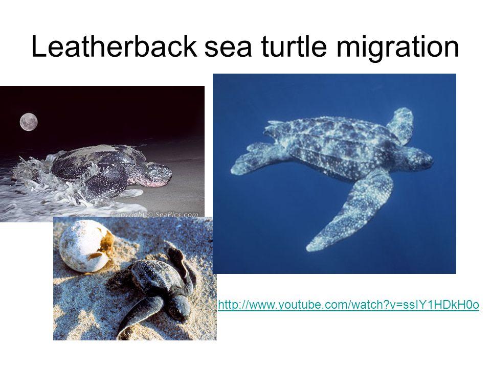 Leatherback sea turtle migration http://www.youtube.com/watch?v=ssIY1HDkH0o