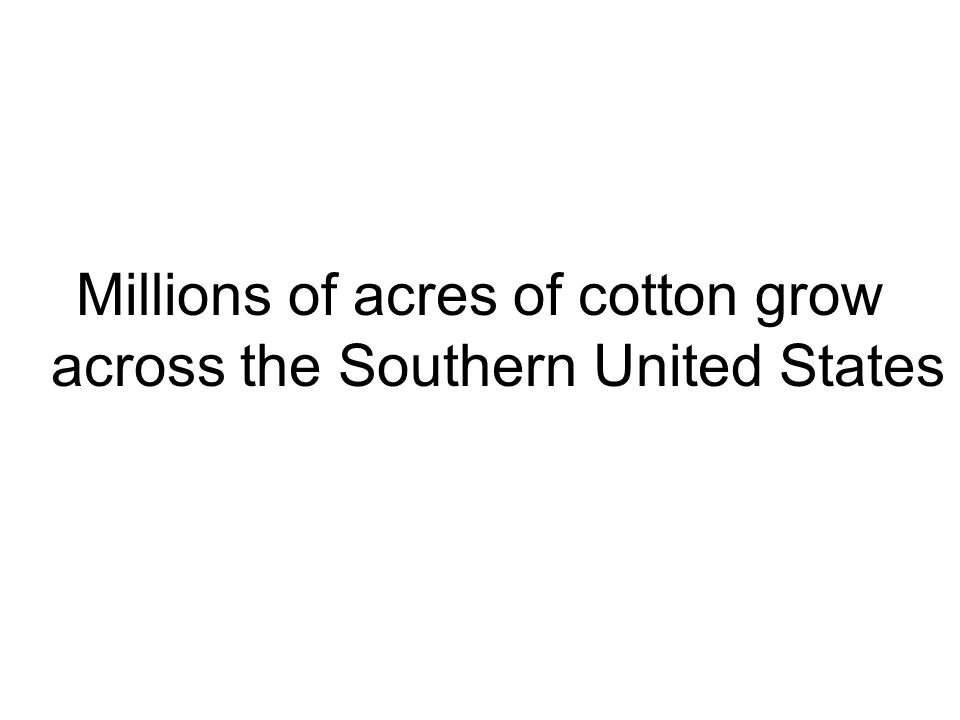 Millions of acres of cotton grow across the Southern United States
