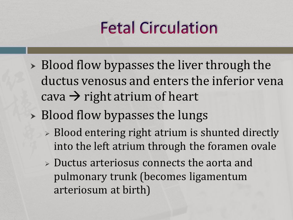  Blood flow bypasses the liver through the ductus venosus and enters the inferior vena cava  right atrium of heart  Blood flow bypasses the lungs 