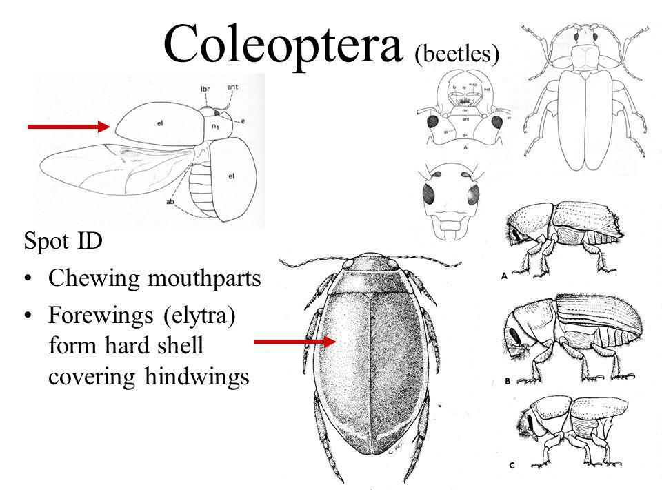 Coleoptera (beetles) Spot ID Chewing mouthparts Forewings (elytra) form hard shell covering hindwings