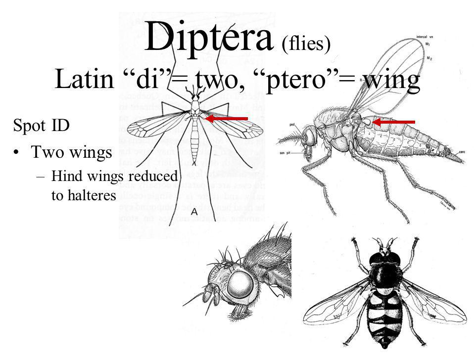 "Diptera (flies) Latin ""di""= two, ""ptero""= wing Spot ID Two wings –Hind wings reduced to halteres"