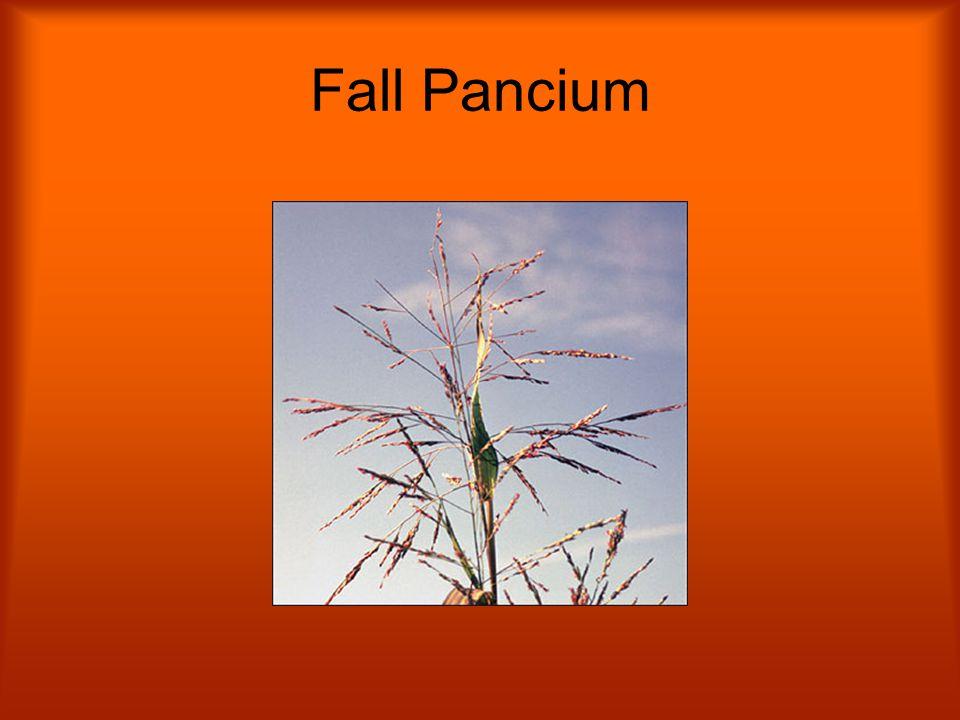 Fall Pancium