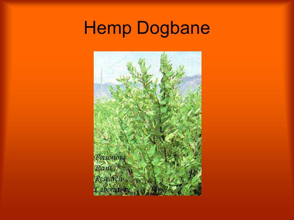 Hemp Dogbane