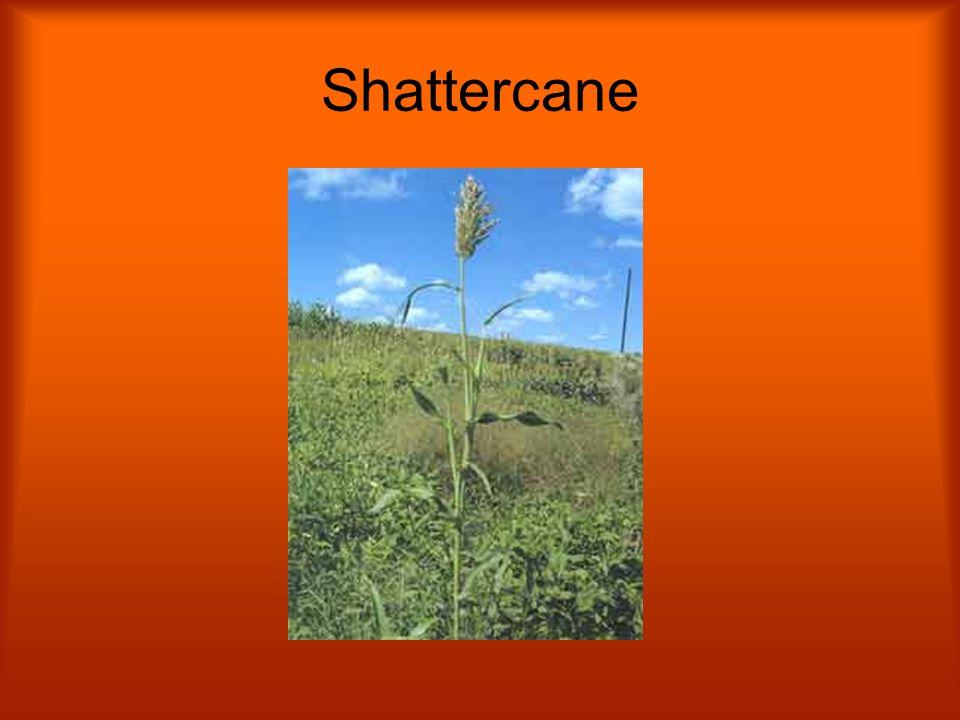 Shattercane