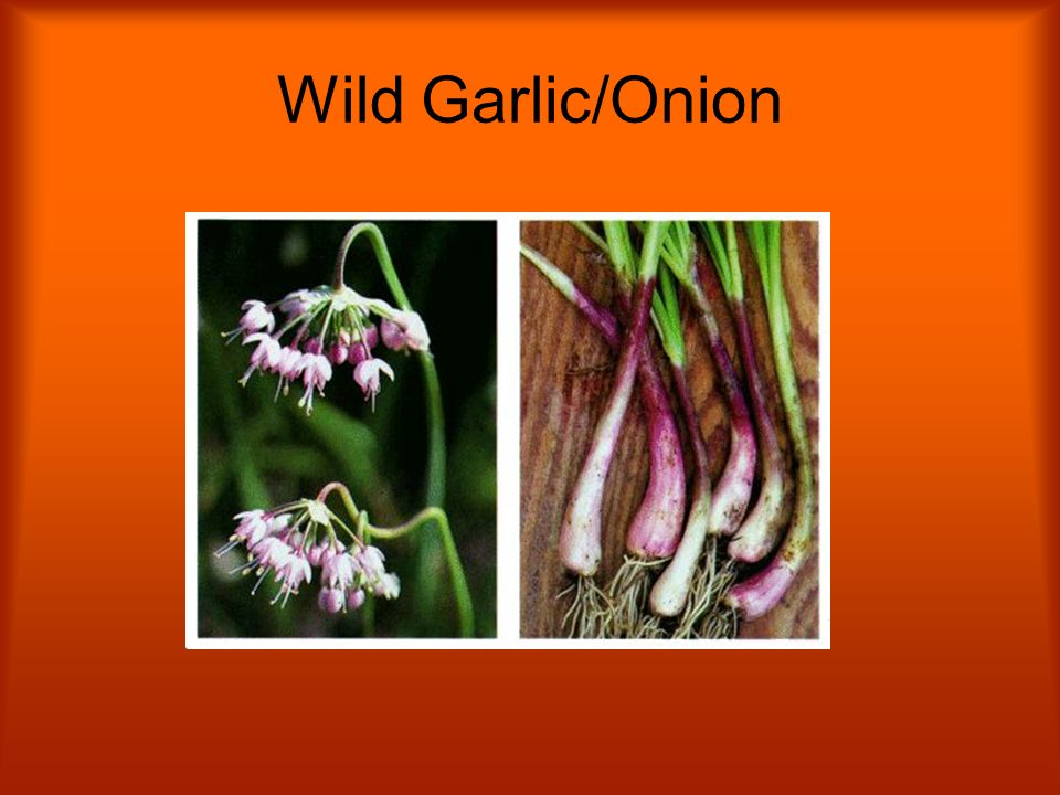 Wild Garlic/Onion