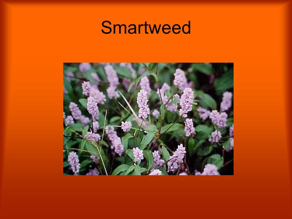 Smartweed