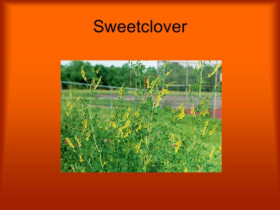 Sweetclover